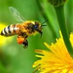 La contaminación dificulta buscar alimento a las abejas